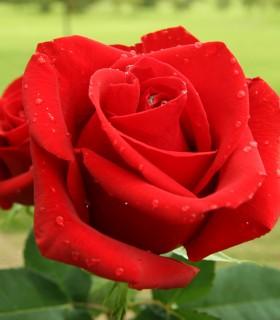 Rosas Rojas Nacional